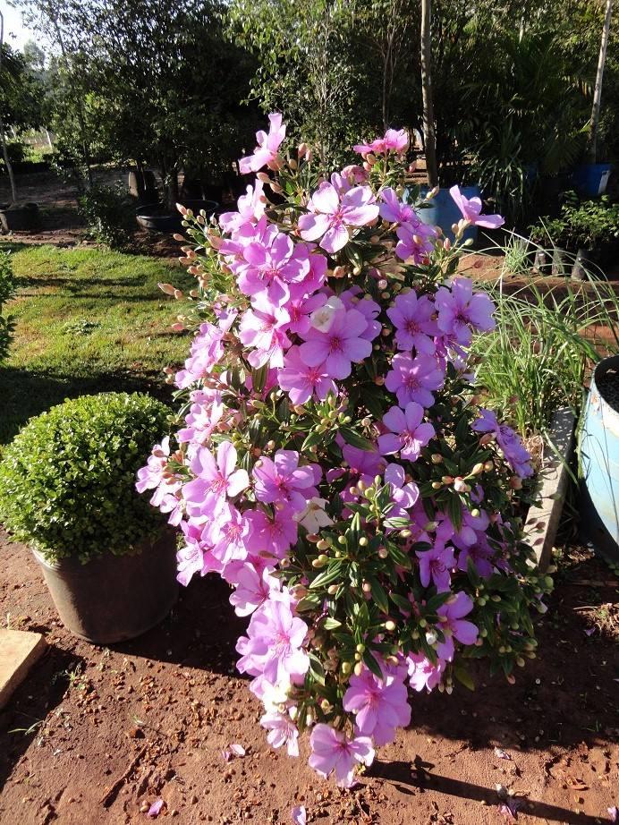 manaca de jardim em vaso : manaca de jardim em vaso:Manacá Da Serra – R$ 30,00 no MercadoLivre