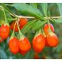100 Sementes De Goji Berry Certificada - Produção De Mudas