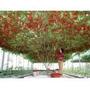 50 Sementes Árvore De Tomate Gigante Italiano+manual