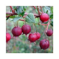 Sementes De Ugni Molinae - Chilean Cranberry+manual
