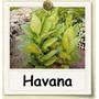 1000 Sementes De Tabaco Havana Gold (ouro) Suave - Raro