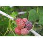 Mudas De Amora Silvestre ( Rubus Níveus No Rj)