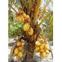 Coco Anão Dourado/amarelo - 01 Muda Apenas R$ 35,00