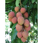 Mudas De Alporque Da Fruta Exótica Lichia, Lixia, Litchi