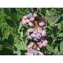Kit Com 3 Mudas De Mirtilo (blueberry) Em Produção +adubo