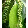 Pimenta Do Reino -mudas 35cm Tempero, Condimento,especiarias