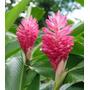 Muda De Alpinia Kimi - Flores Tropicais