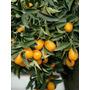 Muda De Laranja Kinkan Produzindo Com Frutos, Produz No Vaso