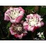 Muda De Bastao De Porcelana Venusta - Flores Tropicais