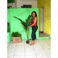 Coco Anão Baia Verdadeiro -muda De Produção Precoce R$ 19,90