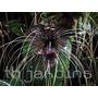 Sementes De Flor Morcego - Tacca Negra - Bonsai Mudas Bulbos