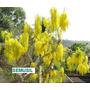 Muda Da Belissima Rara Cassia, Acaçia Imperial,chuva De Ouro