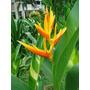 Heliconia Nickeriensis - Muda - Flores Tropicais