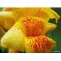 Bulbos Cana Da Índia Amarela Rajada Canna Indica Biri Matiz