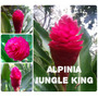 Alpínia Jungle King- Flores Tropicais