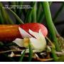 Muda Micro Orquidea Capanemia Micromera