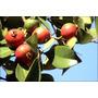 Sementes De Araçá Vermelha 70 Unidades +manual De Cultivo
