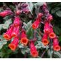Sementes De Trepadeira Glória Do Chile Flores Belissimas