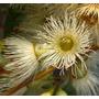Sementes De Eucalyptus Melliodora Melífero Yellow Box Jardim