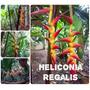 Heliconia Regalis - Flores Tropicais