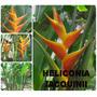 Heliconia Jacquinii- Flores Tropicais