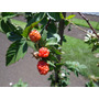 Muda De Amora Preta Gigante (blackberry) Variedade Himalaia