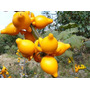 Teta-de-vaca 100 Sementes - Plantas E Flores Tropicais