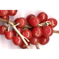 20 Sementes De Azeitona De Outono (elaeagnus)+manual