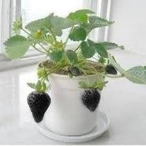 Morango Preto Raríssimo Manual De Cultivo 500 Sementes