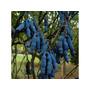 20 Sementes De Banana Azul (decaisnea Fargesii)+manual