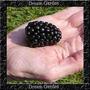 100 Sementes De Amora-silvestre Gigante Triple Crown