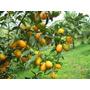 Laranja Kikan Produz No Vaso, Com Frutas