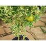 Limao Imperial Produz No Vaso, Com Frutas