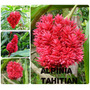 Alpínia Tahitian - Flores Tropicais