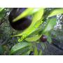 Frutiferas Jabuticaba/jambo Vermelho/cambui/grumixama