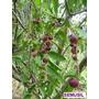 Muda Da Fruta Rara Camu-camu Da Amazônia, + Rica Vitamina C