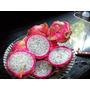 Pitaya Vermelha Polpa Branca (dragon Fruit) Kit 12 Mudas