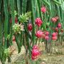 Muda Matriz Pitaya Vermelha Ou Brnca