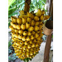 Mudas De Banana Ouro Bulbo R$ 6,50