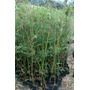Bambu Multiplas Folhas (b. Multiplex)+manual De Cultivo