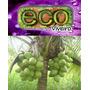 Muda De Coco Anão Precoce Altamente Produtivo Da Amazonia