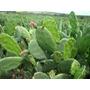 5 Folhas De Palmas Doce( Opuntia Cochenillifera