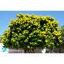 Mudas De Planta - Pau Brasil - Árvore De Flor