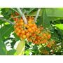 02 Mudas Grandes De Fruto De Sabiá - Arvore Nativa