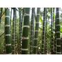 5 Mudas De Bambu Guadua (guadua Angustifolia)