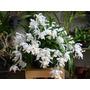 Muda Orquídea Branca De Neve Coelogyne Cristata Adulta Flor