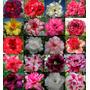 50 Mudas De Rosa De Deserto - 8 À 12 Cm