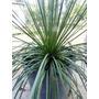 Agave Palito Planta 4 Anos - Jardinagem E Vasos Frete Gratis