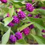1 Muda De Amora Americana (beautyberry)