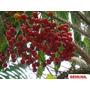Muda Da Raríssima Palmeira E Fruta Cariota De Espinho
